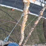 Tree Cabling Services in Murfreesboro TN